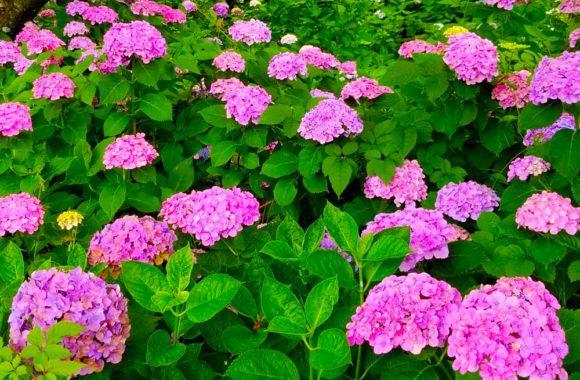 紫陽花が美しい季節